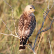 Red-shouldered Hawk (Buteo lineatus) - Stock Photo