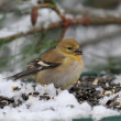 American Goldfinch (Carduelis tristis) — Stock Photo #16262215