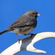 Junco on an Antler — Stock Photo