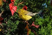 Prairie Warbler (Dendroica discolor) — Stock Photo