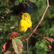 Stock Photo: Prairie Warbler (Dendroicdiscolor)