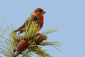 Red (or Common) Crossbill — Stock Photo