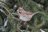 Song Sparrow (Melospiza melodia) — Stock Photo