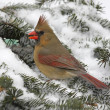 Stock Photo: Cardinal In Snow