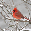 Cardinal In Snow — Stockfoto