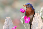 Male Eastern Bluebird — Stock Photo