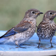Stock Photo: Eastern Bluebird Beating Heat