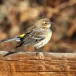 Yellow-rumped Warbler (Dendroica coronata) — Stock Photo