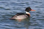 Male Red-breasted Merganser — Stock Photo