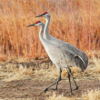 Sandhill Crane — Stock Photo #18626067