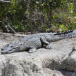 Stock Photo: Americcrocodile (Crocodylus acutus) Basking in Sun