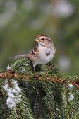American Tree Sparrow — Stock Photo
