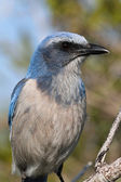 Endangered Florida Scrub-Jay — Stock Photo