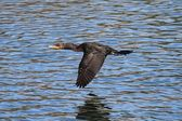Double-crested Cormorant In Flight — Stock Photo