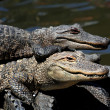 Stock Photo: AmericAlligators Basking in Sun