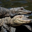 American Alligators Basking in The Sun — Stock Photo