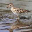 Pectoral Sandpiper (Calidris melanotos) — Stock Photo #21258287