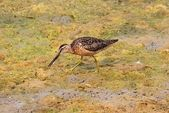 Long-billed Dowitcher (Limnodromus scolopaceus) — Stock Photo