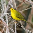 Stock Photo: Wilsons Warbler (Wilsonipusilla)