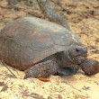 Gopher Tortoise (Gopherus polyphemus) — Stock Photo