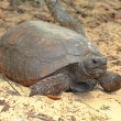 Gopher Tortoise (Gopherus polyphemus) — Stock Photo #23430560