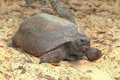 Gopher Tortoise (Gopherus polyphemus) — Stock fotografie