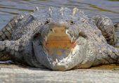 American crocodile (Crocodylus acutus) Basking in The Sun — Stock Photo