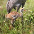 Sandhill Crane Baby — Stock Photo