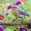 Foto de Stock  : Female Eastern Bluebird