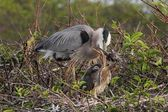 Great Blue Heron With Babies — Stock Photo