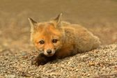 Red Fox Kit — Stok fotoğraf