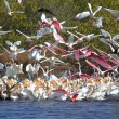 Large Flock of Water Birds Feeding — Stock Photo