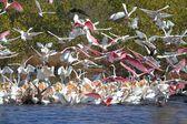 Large Flock of Water Birds Feeding — Stock Photo