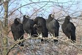Flock of Black Vultures — Stockfoto