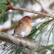 Field Sparrow (Spizella pusilla) On A Snow-covered Branch — Stock Photo #25412939