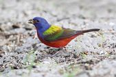 Painted Bunting (Passerina ciris) — Stock Photo