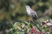 Mockingbird On A Stump — Stock Photo