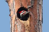 Pileated Woodpecker (Dryocopus pileatus) — Stock Photo