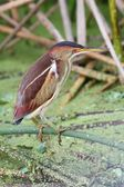 Least Bittern (Ixobrychus exilis) — Stock Photo
