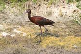 White-faced Ibis (Plegadis chihi) — Stock Photo