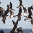 Stock Photo: Flock of Black Skimmers in flight
