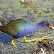 Purple Gallinule (Porphyrio martinica) — Stock Photo #25853075
