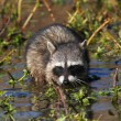 Royalty-Free Stock Photo: Baby Raccoon in a Stream