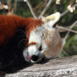 Red Panda (Ailurus fulgens) — Stock Photo #25859805