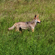 Western Coyote — Stock Photo #25859859