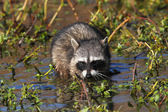 Baby Raccoon in a Stream — Stock Photo