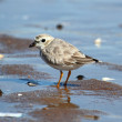 Stock Photo: Endangered Piping Plover (Charadrius melodus)