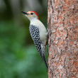 Woodpecker on a pine tree — Photo