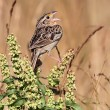 Stock Photo: Grasshopper Sparrow (Ammodramus savannarum)