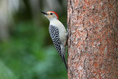 Woodpecker on a pine tree — Stock Photo